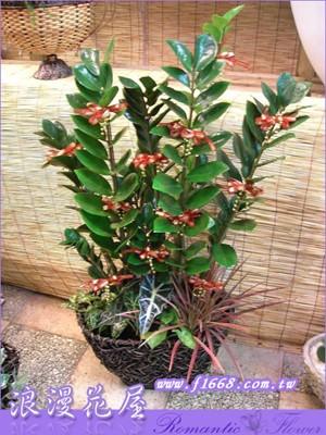 金錢樹盆栽3-47