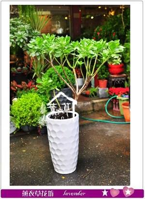 白水木盆栽B102824