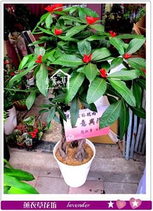 發財樹盆栽c080916