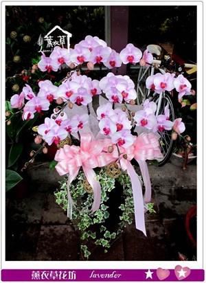 高雅蝴蝶蘭c052906