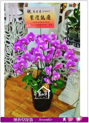 高雅蝴蝶蘭b052005
