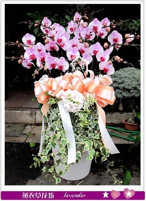 高雅蝴蝶蘭15株bb111812