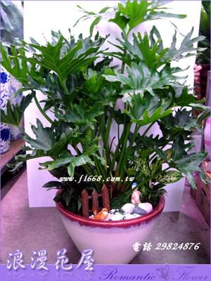 密天使盆栽 3-84