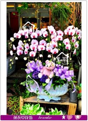 高雅蝴蝶蘭盆栽c091611