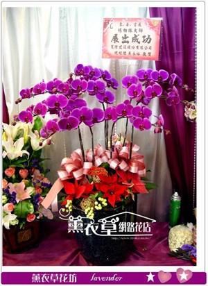 高雅蝴蝶蘭8株y33386