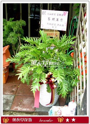 小天使組合盆栽y31432