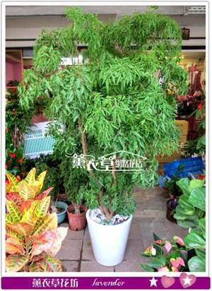 富貴樹盆景c100305