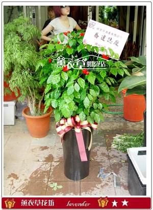 旺旺樹盆栽y31619
