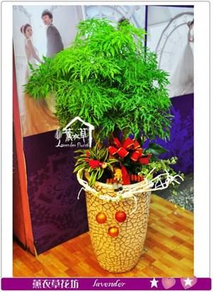 富貴樹盆栽a100201
