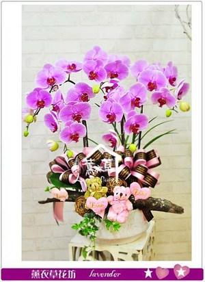 高雅蝴蝶蘭 106080925