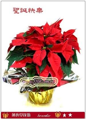 聖誕紅盆栽-中<BR>一次須購買10盆D104