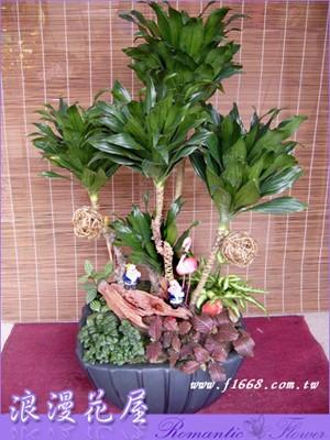 阿波羅千年木盆栽3-18