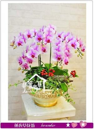 高雅蝴蝶蘭106010501