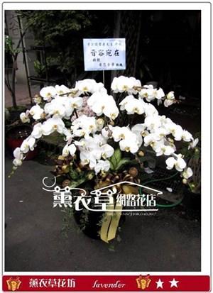 高雅蝴蝶蘭14株y30476