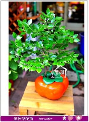 竹柏盆栽c091908