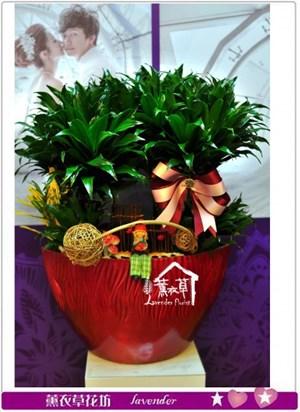阿波羅盆栽a010817