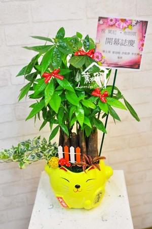 貓咪發財樹~全省免運-預定B092509