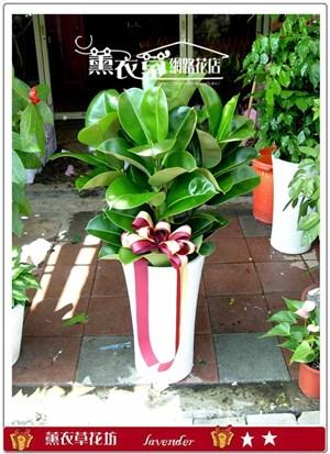 橡膠樹盆栽y32066