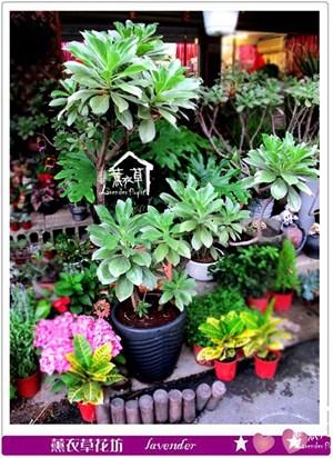 白水木盆栽c050412