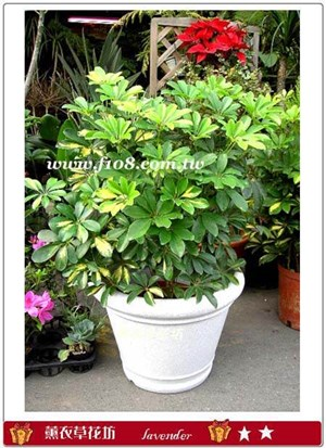 鵝掌樹盆栽D303