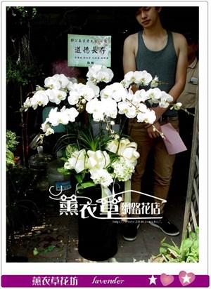 高雅蝴蝶蘭10朱y10122