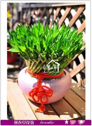 開運竹盆栽c090708