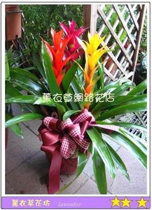 鳳梨花盆栽D607