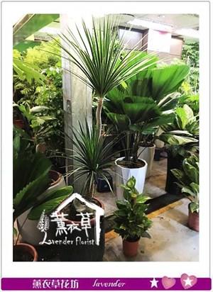 龍雪樹盆栽 106081622