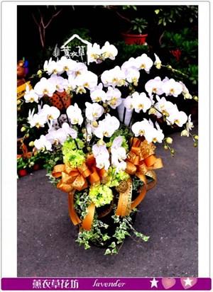 高雅蝴蝶蘭c101401