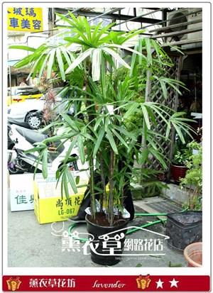 棕梠樹盆栽y7136