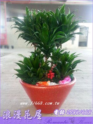阿波羅盆栽3-124