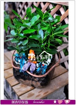 龍珠盆栽c091109