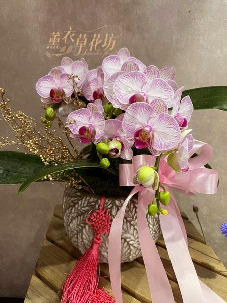 高雅蝴蝶蘭設計 一盆110012801
