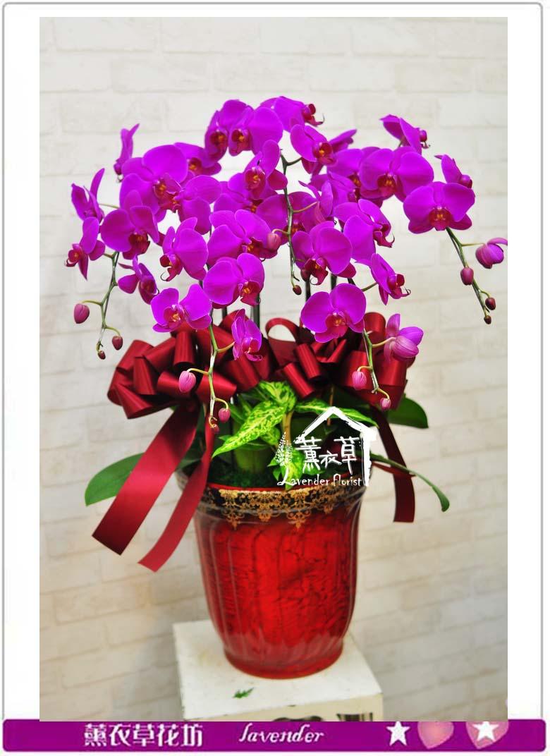 高雅蝴蝶蘭5珠b060113