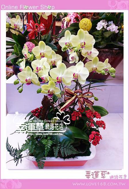 優質蘭花3株D0320