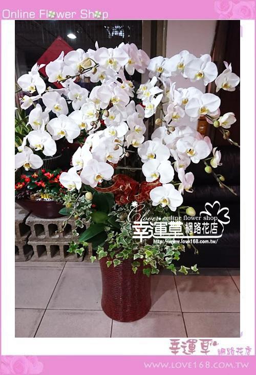 優質蘭花12株D0209