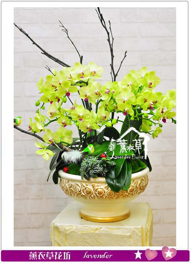 黃金蝴蝶蘭b071602