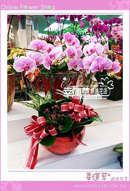 優質蘭花6株D0208