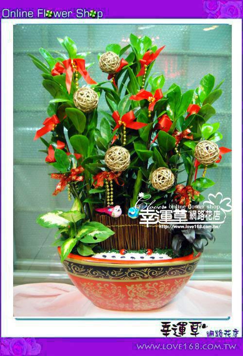 E501金錢樹盆栽