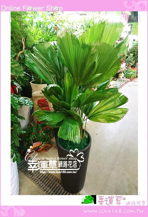 E226普魁盆栽
