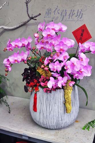 蝴蝶蘭/蘭花/設計108011603