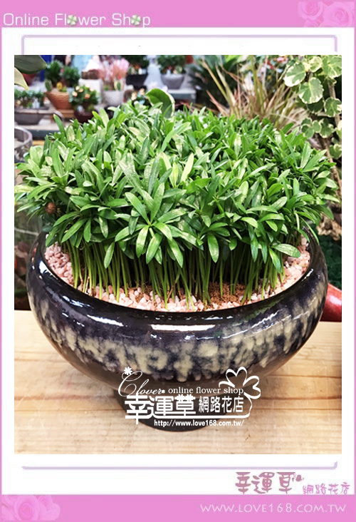 羅漢松盆栽E0308