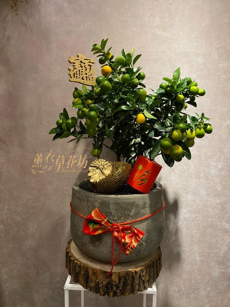 金桔樹盆栽109011528