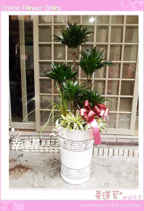 E85大型阿波羅盆栽