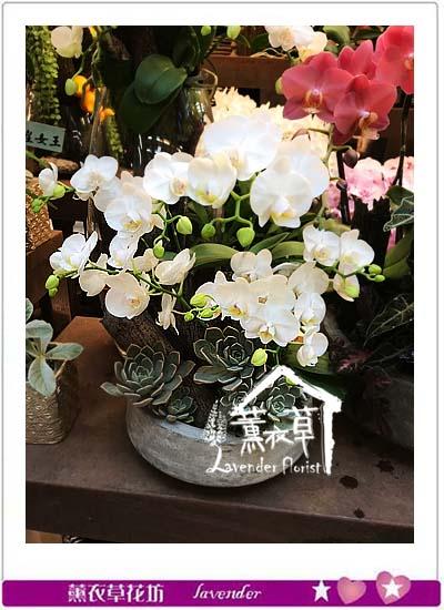 迷你白色蝴蝶蘭106081627