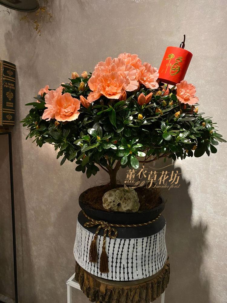 杜鵑花~進口品種109011528