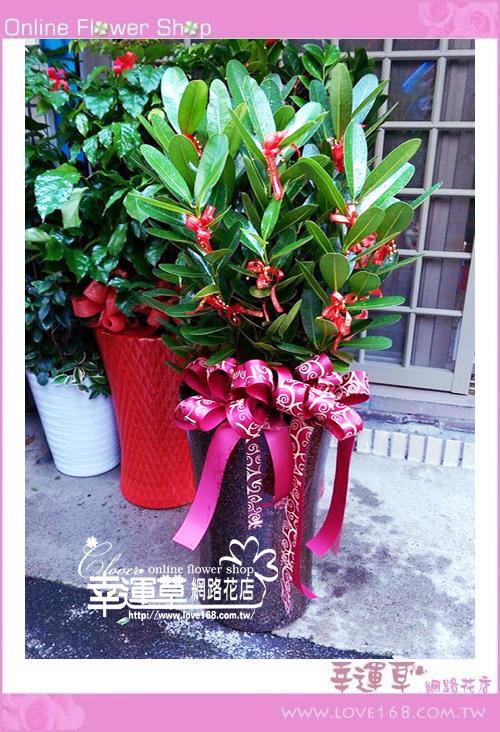 E1225龍珠盆栽