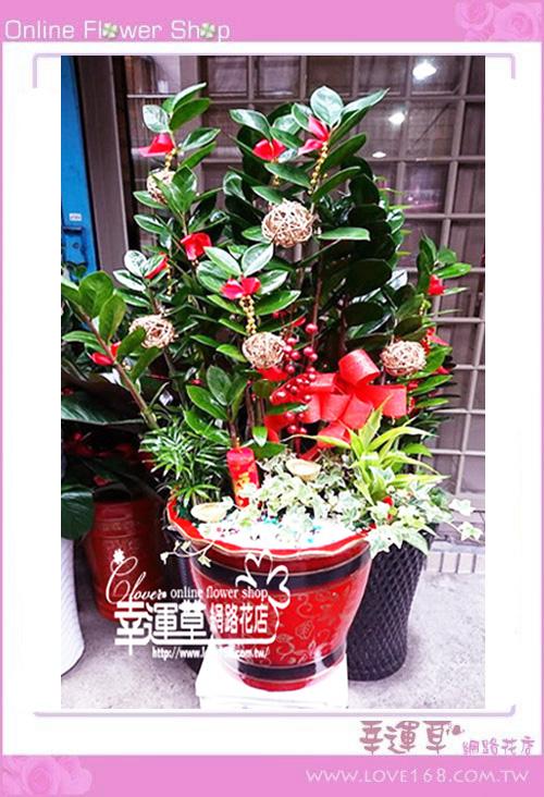 E0129金錢樹盆栽