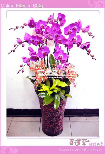 D054優質蘭花8株