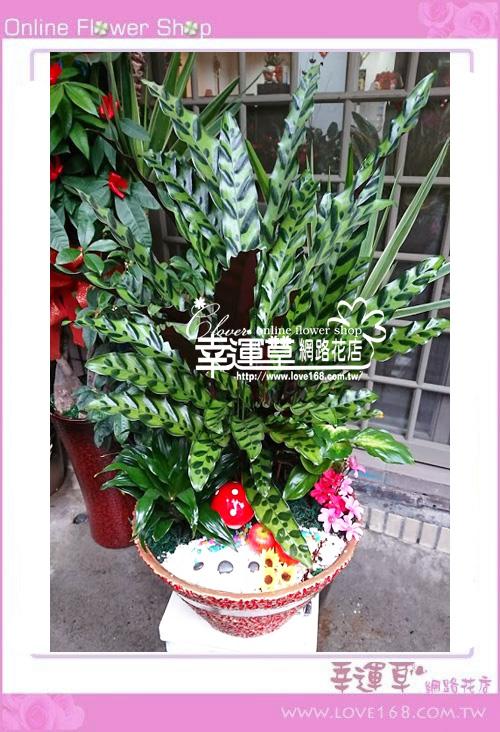 E0301孔雀竹芋盆栽